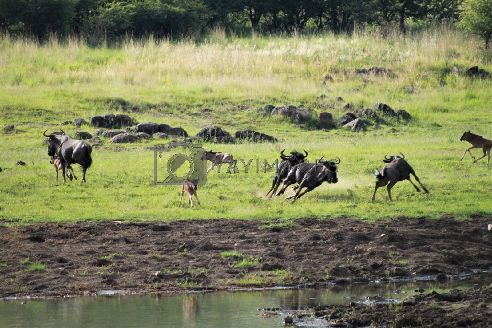 Wildebeests and her calves are running around fast near a waterhole