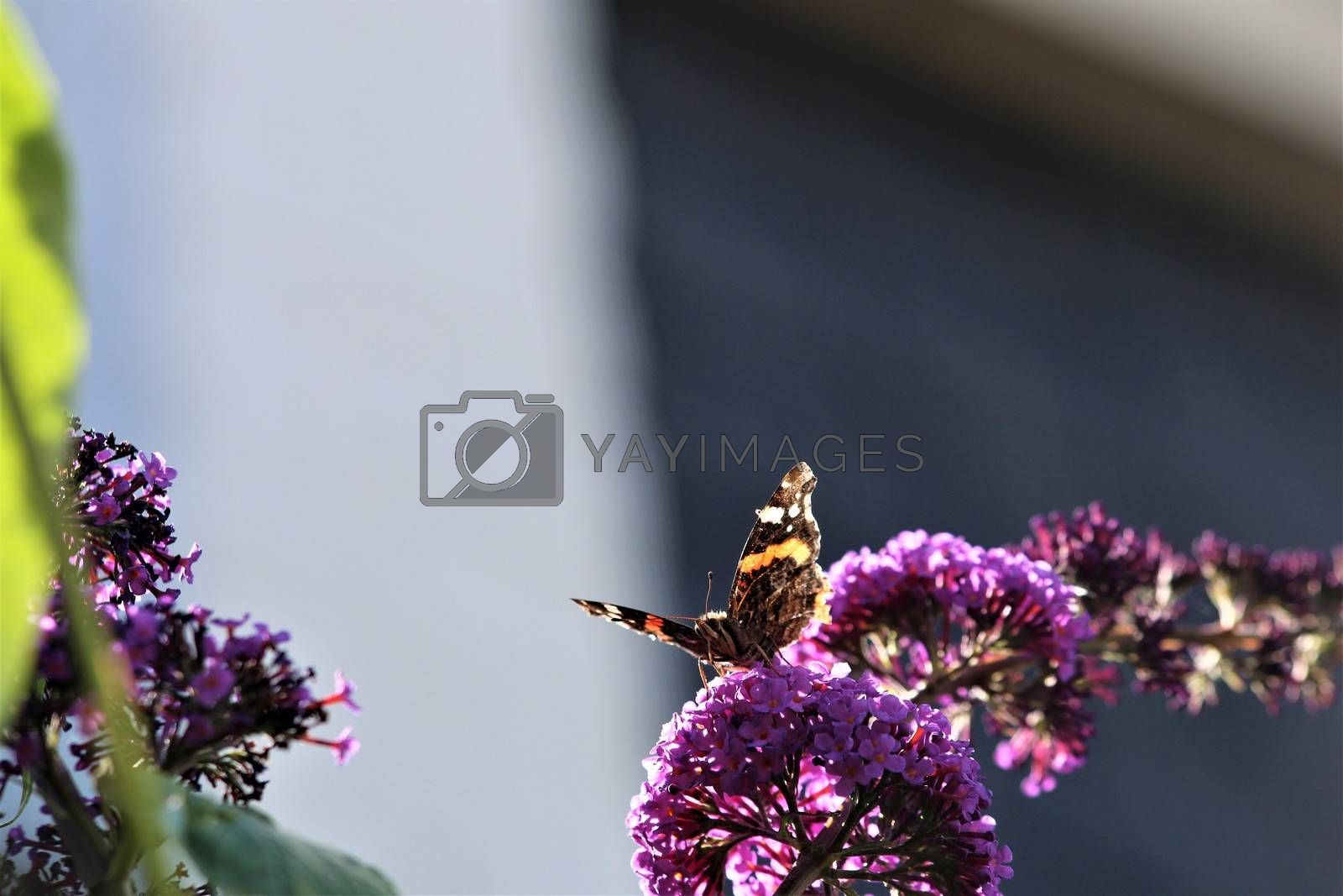 Nymphalidae,Admiral Vanessa atalanta butterfly on a summer lilac against a blurry background