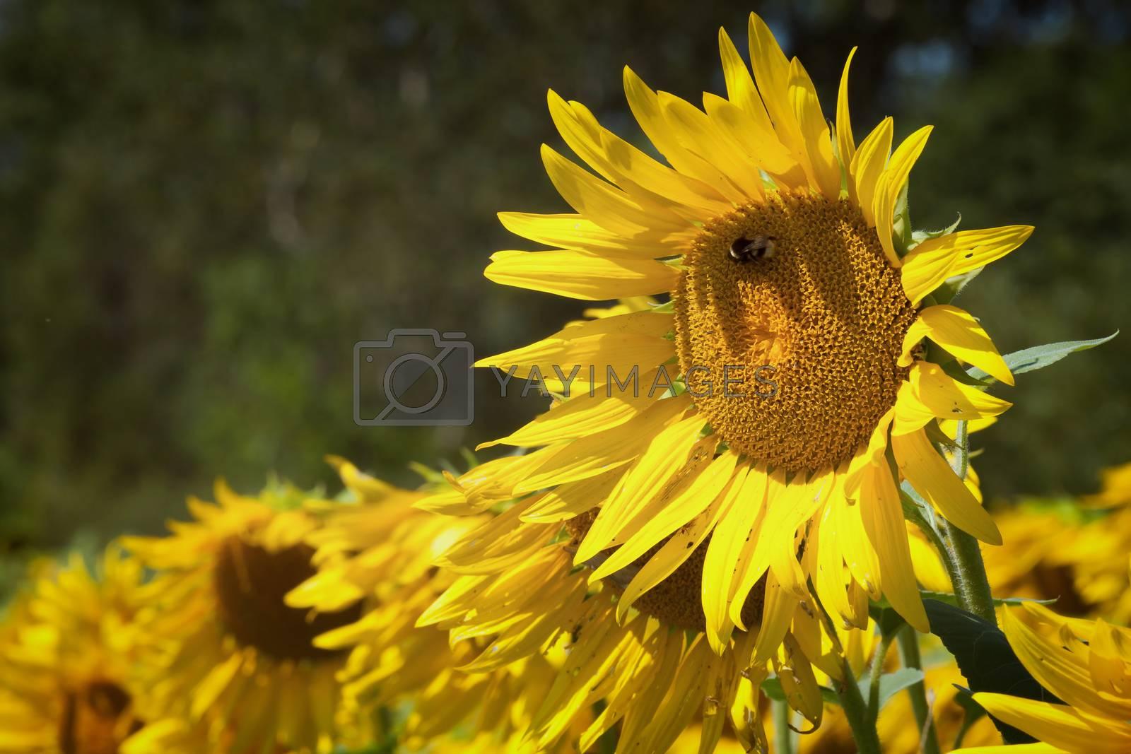 Sunflower field in summer