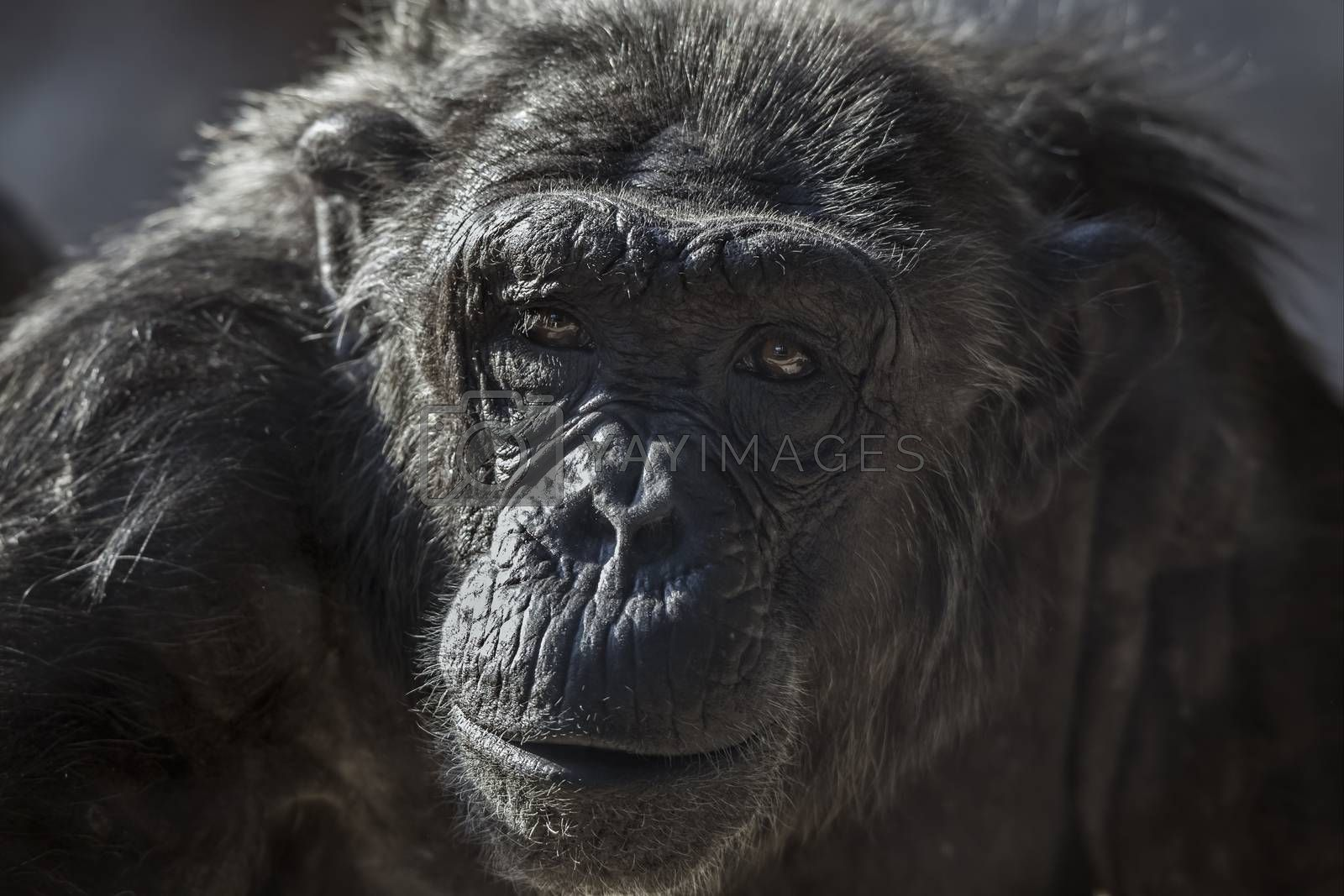 Old chimpanzee portrait at the zoo Barcelona, in Spain