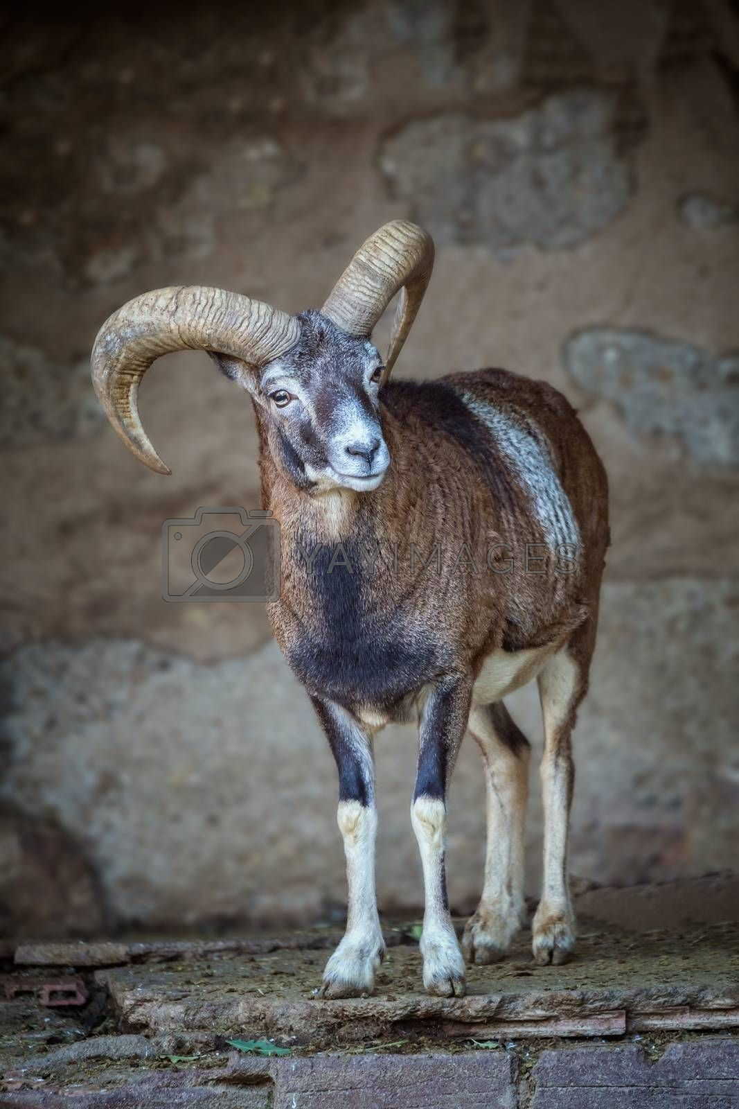 Adult mouflon aries in the zoo of Barcelona in Spain