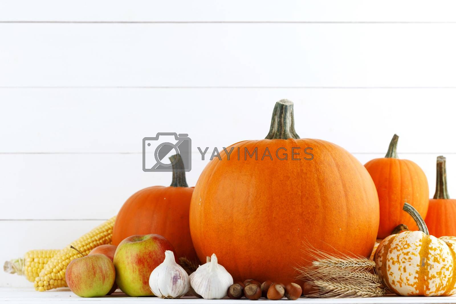 Autumn harvest still life with pumpkins , wheat ears , apples , garlic , onion on white wooden background