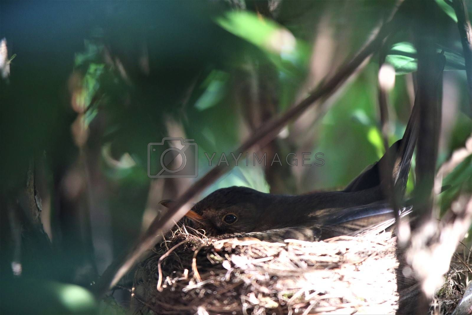 A throttle breeds in the nest in a rhododendron bush