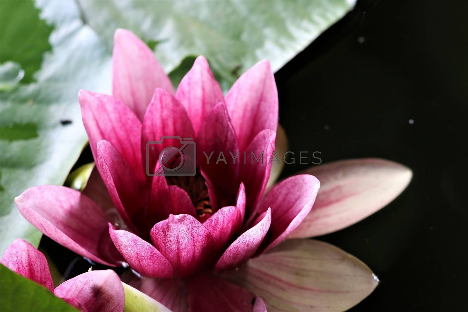 A close-up of a pink water lily with green leaf