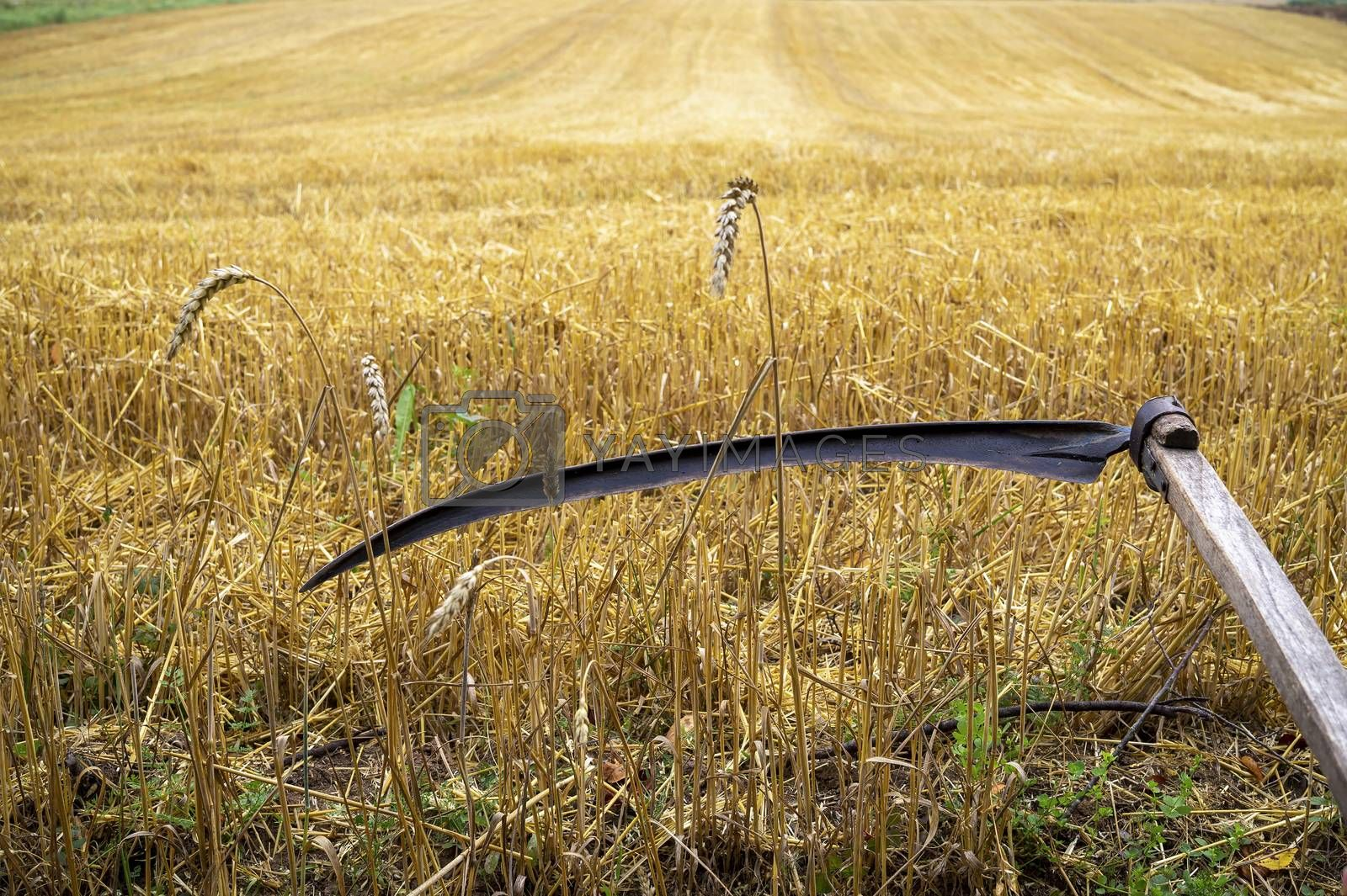 Rustic scythe in a harvested field of wheat with stalk stubble in an agricultural landscape