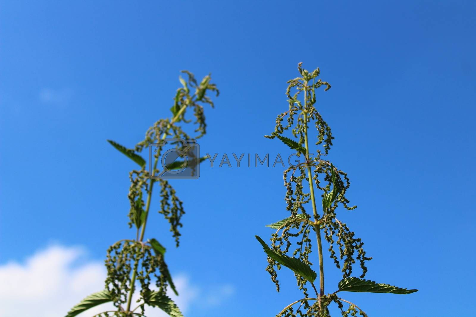 Royalty free image of many stinging nettles in front of the blue sky by martina_unbehauen