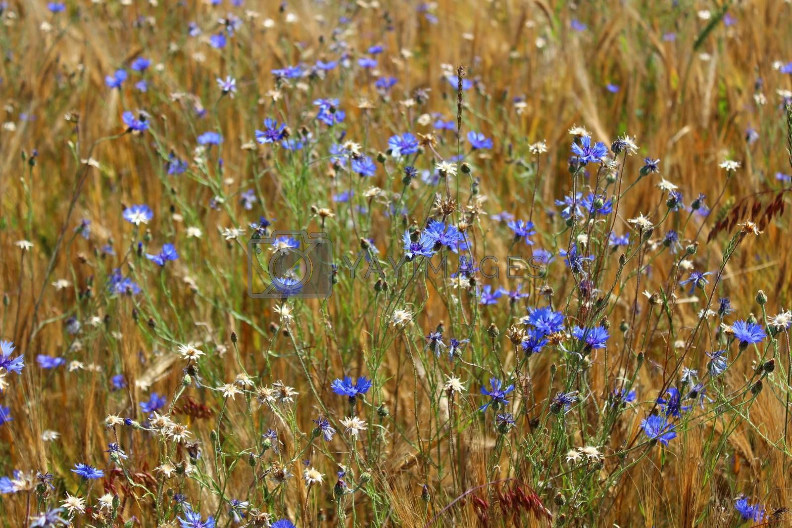 Royalty free image of many cornflowers in a field by martina_unbehauen