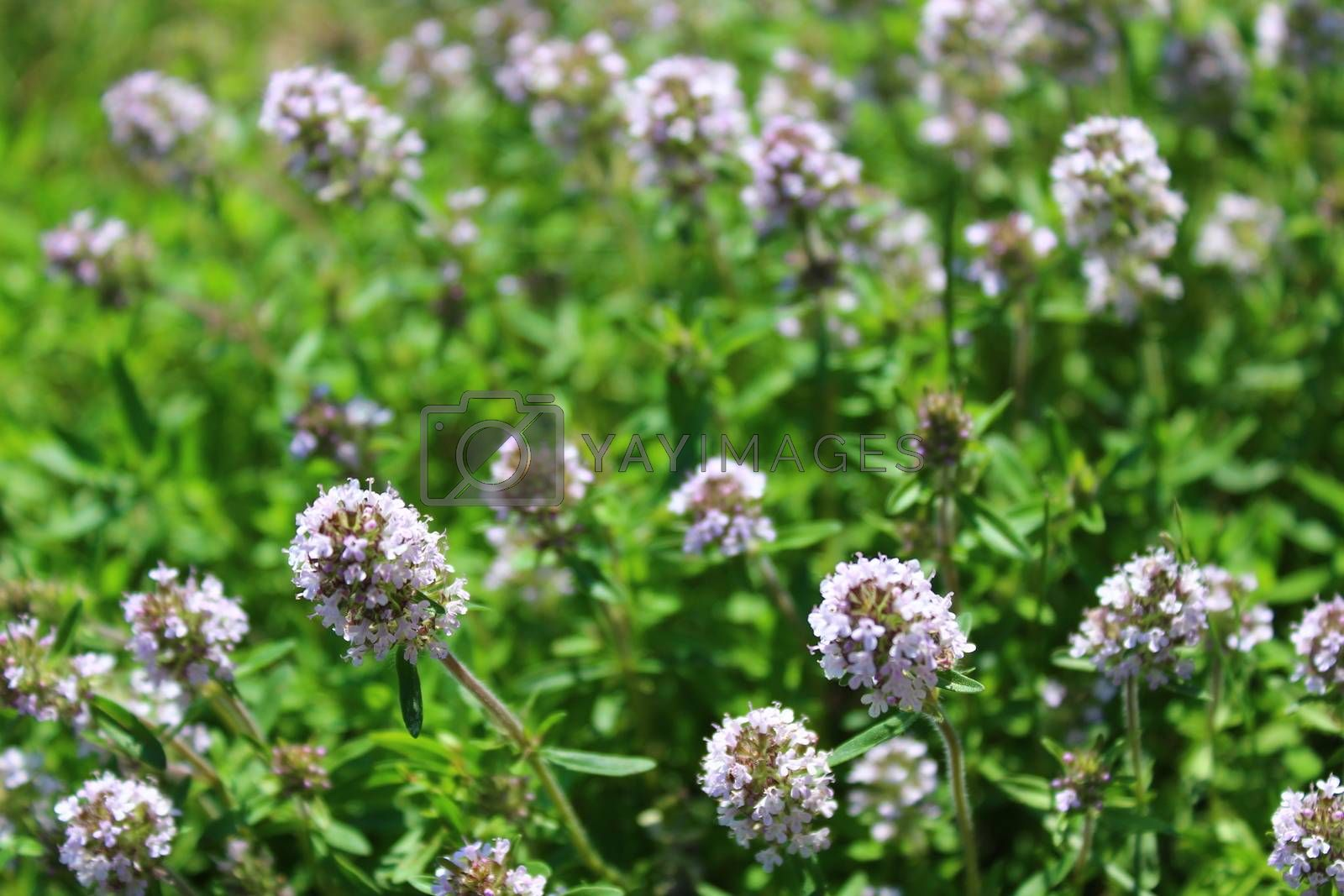 Royalty free image of blooming thyme in the garden by martina_unbehauen