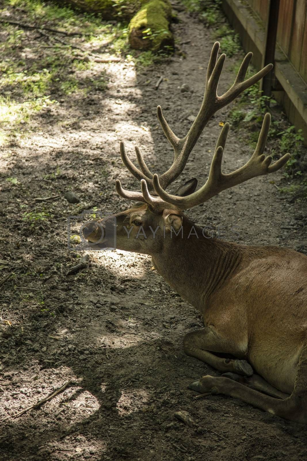 deer in Bialowieza National Park