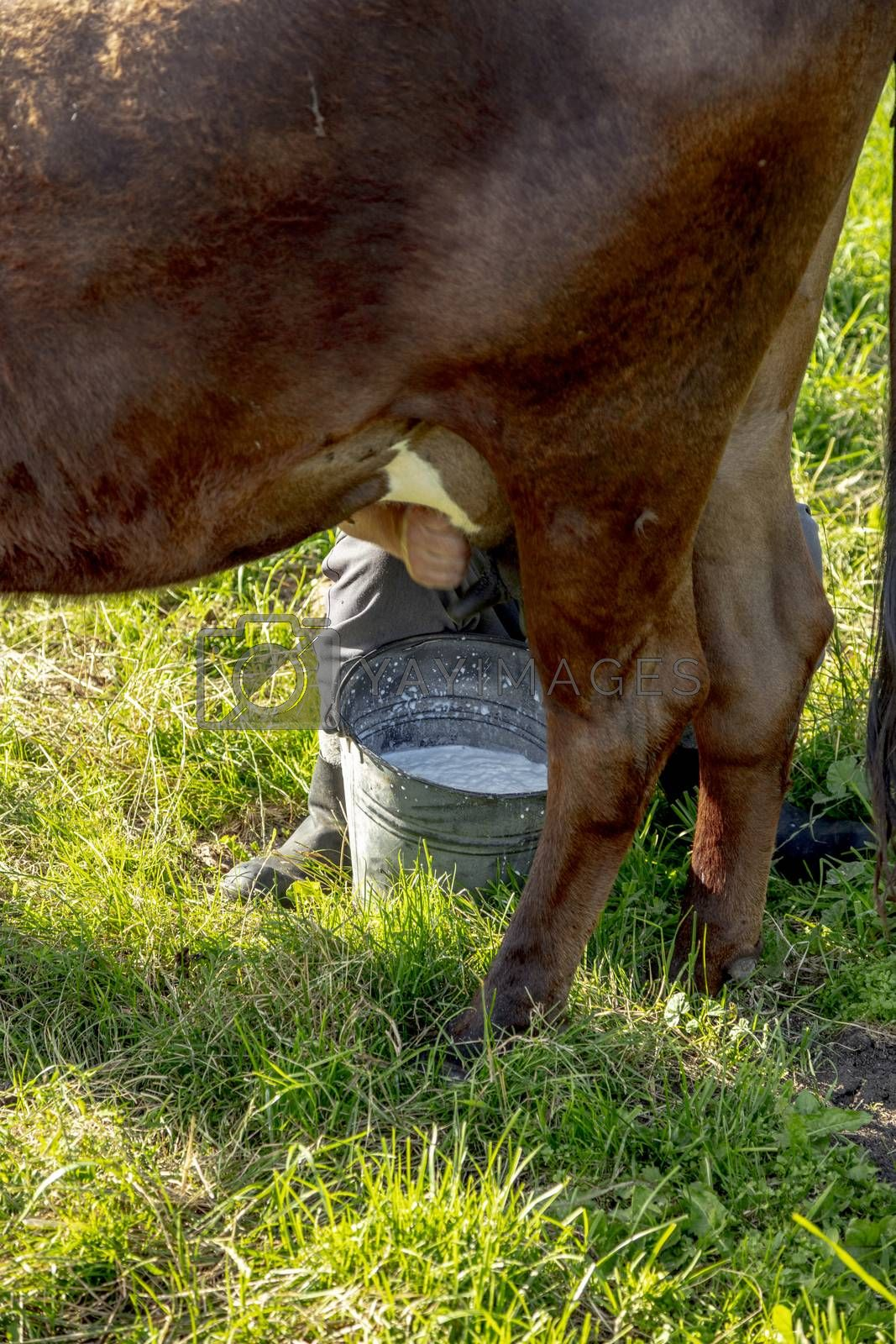 farmer milks cows by hand, old way to milk cows