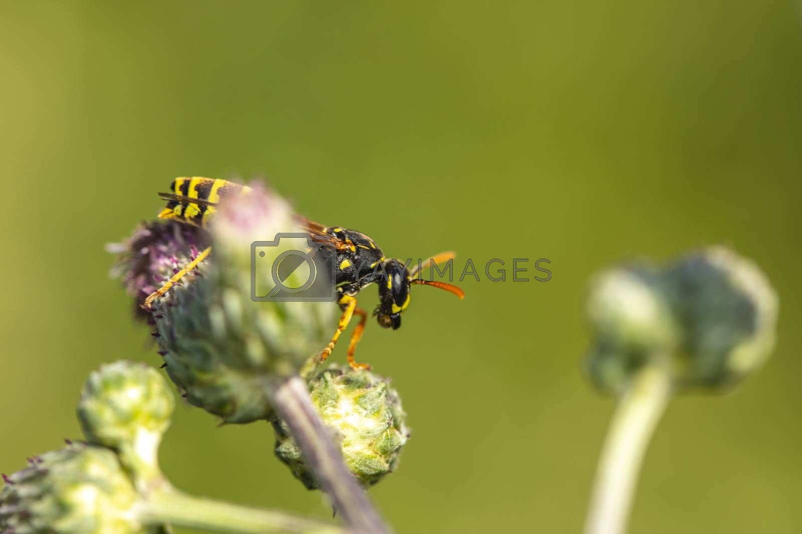 the wasp walks on a thistle flowe