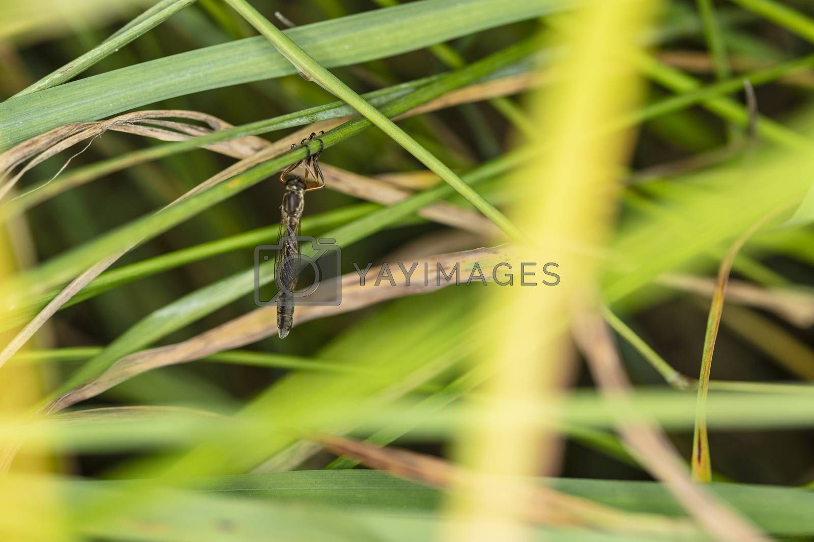 large mosquito sits hidden in the grass