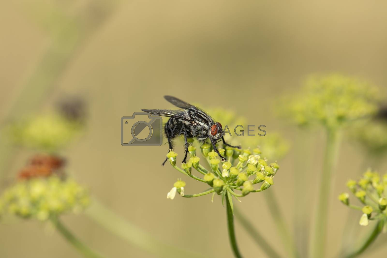 an ordinary large fly with red eyes sits on the plant