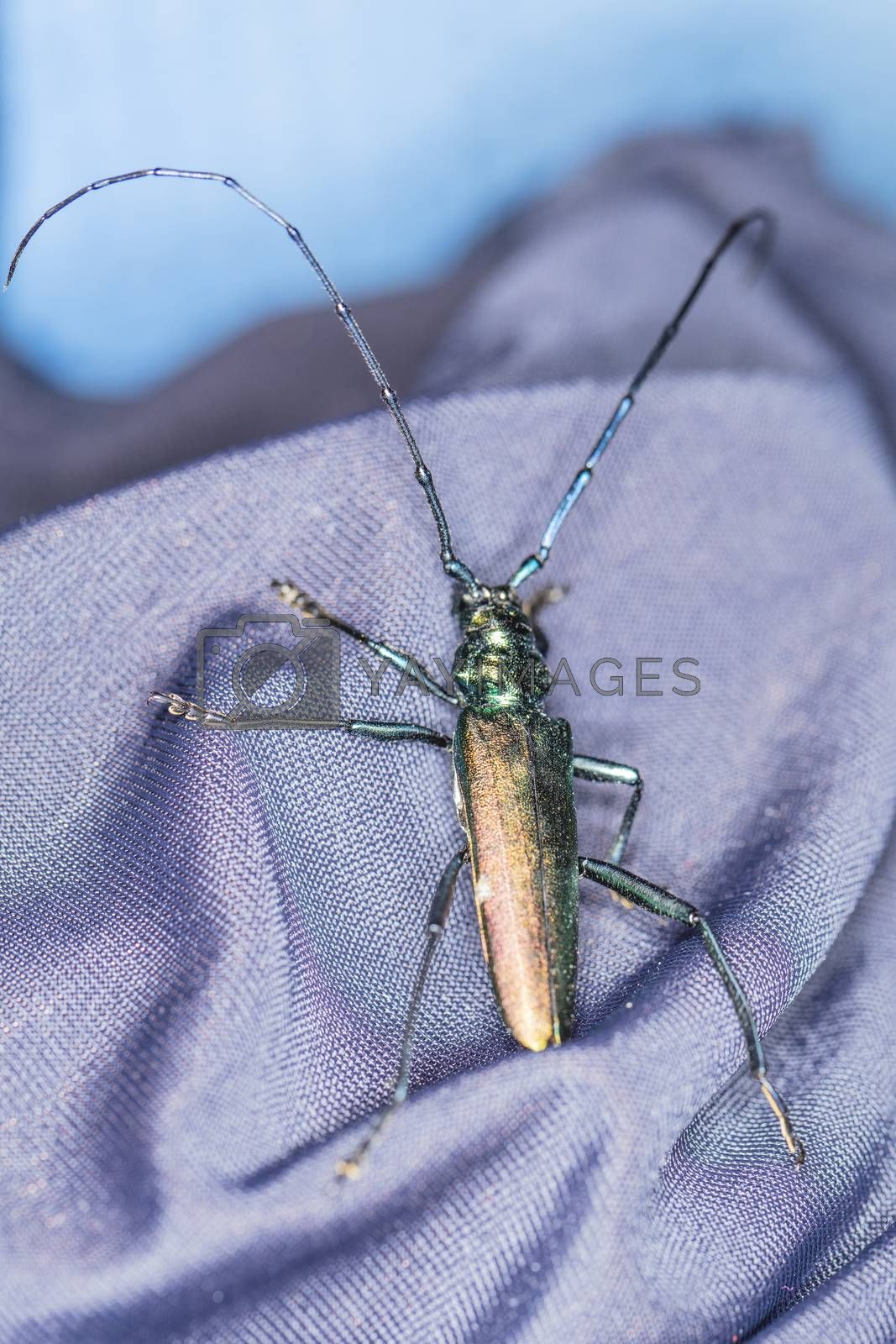 Cerambycidae, beetle in a beautiful color walks on the material