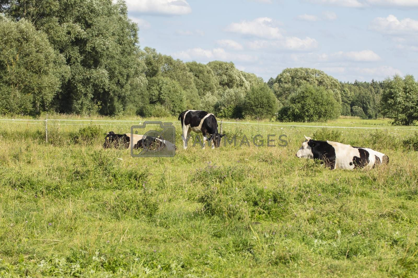 cows in the pasture on a sunny summer day