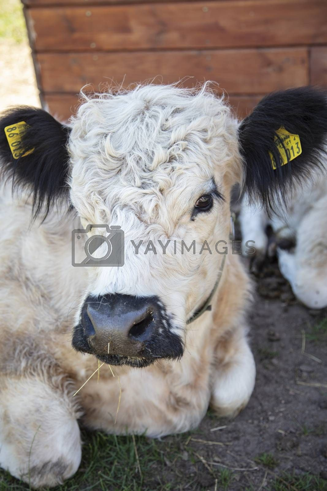 portrait of a beautiful white cow resting in the shade