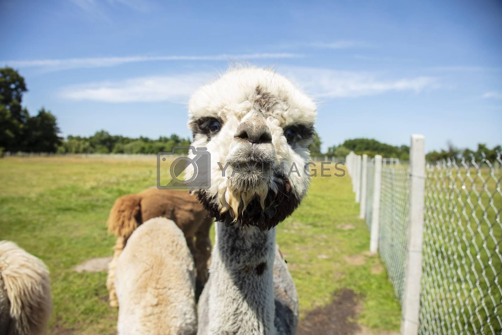 Beautiful South American alpacas in a free range