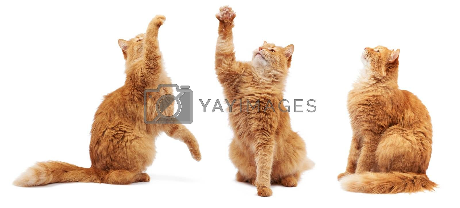 adult fluffy red cat sitting and raised its front paws up, imitation of holding any object, the cat sits sideways and looks up, animal isolated on a white background