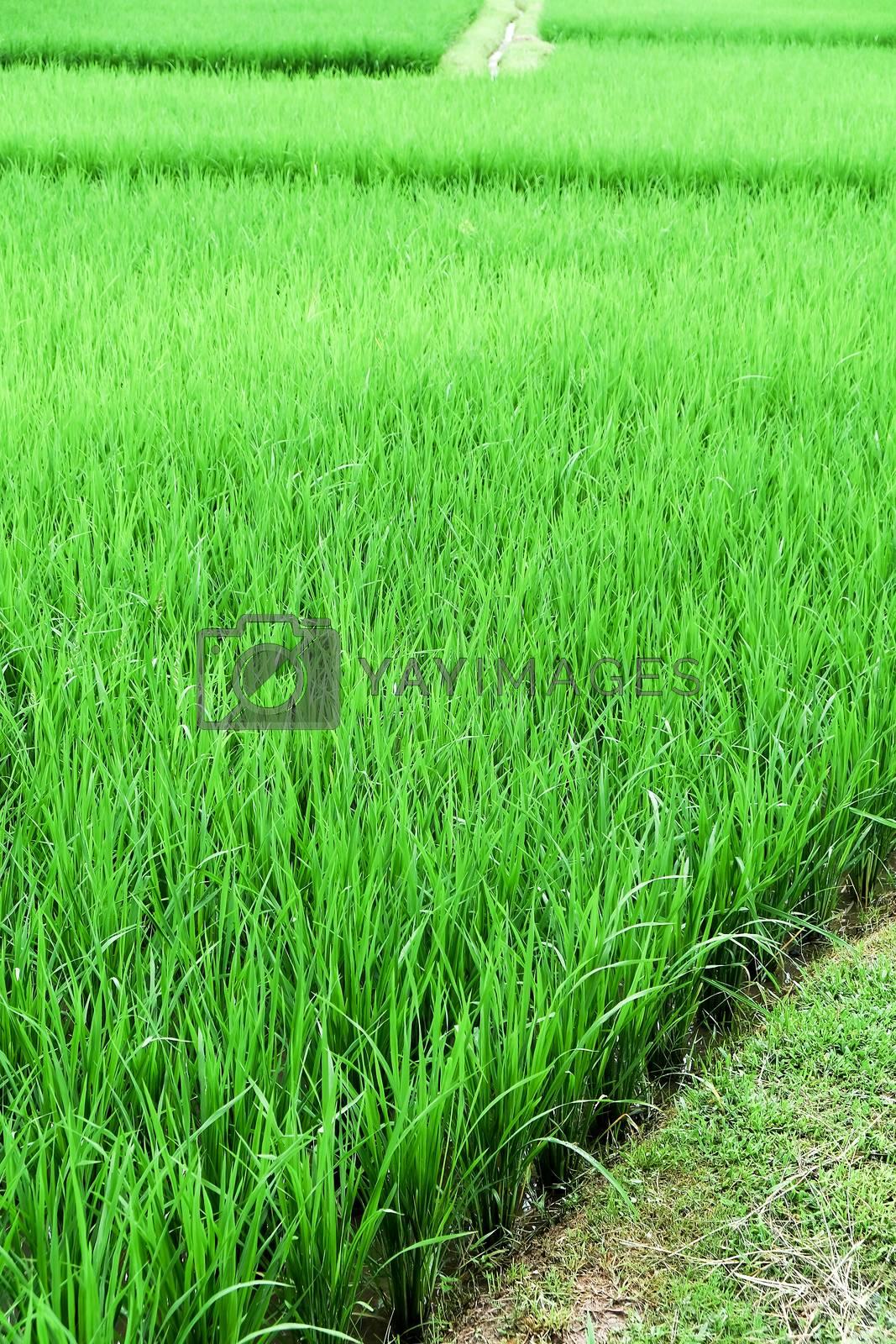 green Rice field at Nan Province,Thailand