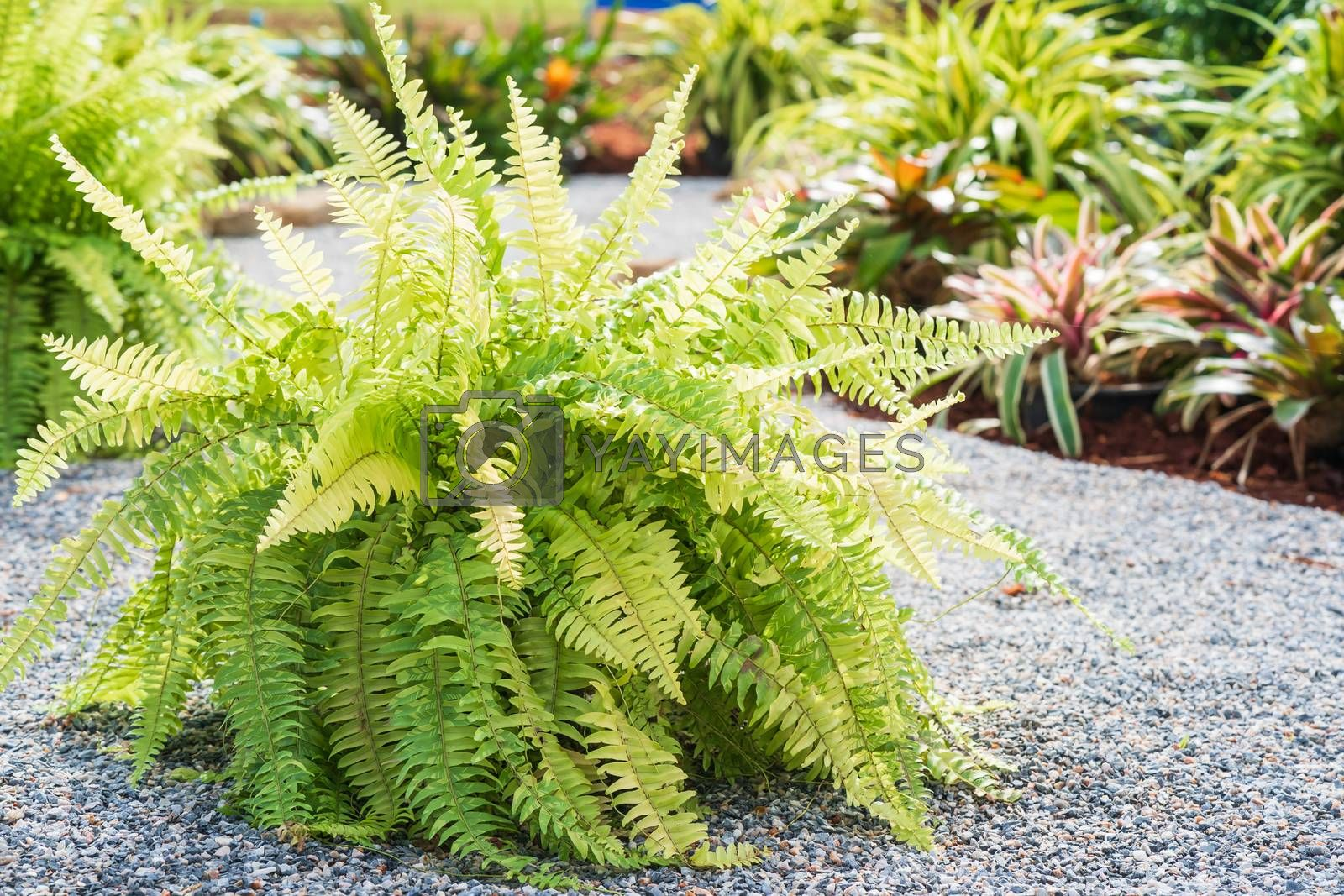 Fern plant on the pebble ground in garden
