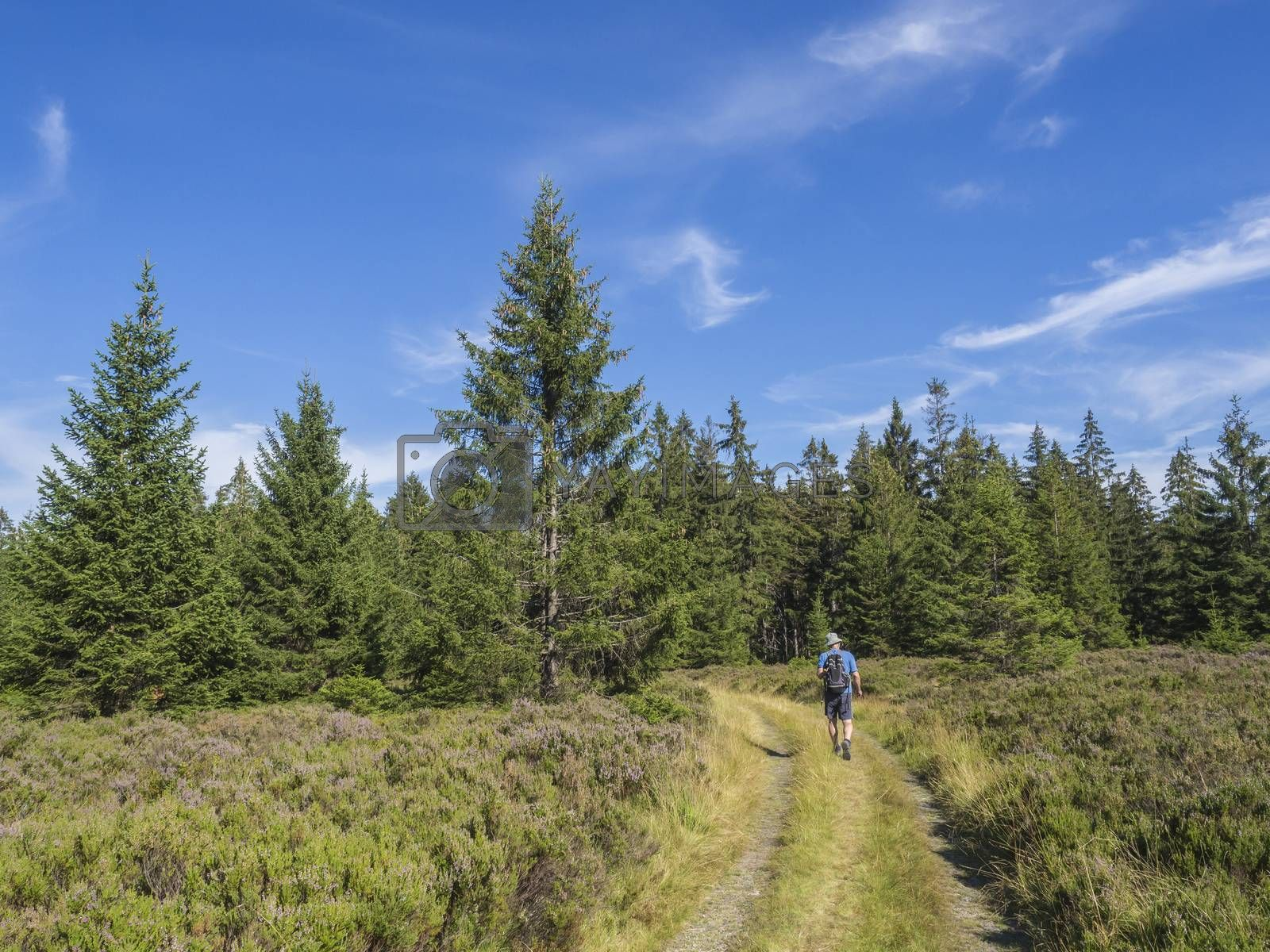 young man hiker with backpack and hat walking on winding forest track road in Brdy mountain hills with green spruce trees forest and blue sky, Czech Republic.