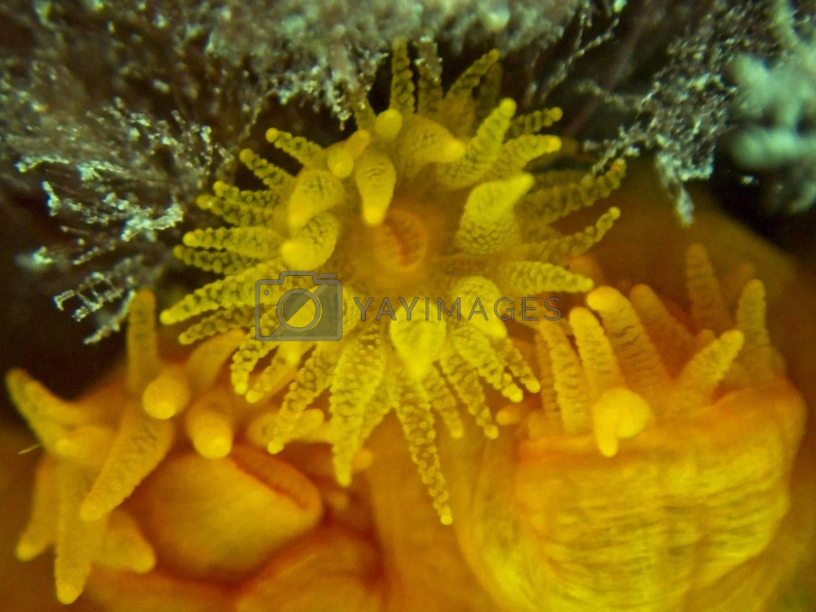 Orange Sun Coral, or Tubastrea Faulkneri, in warm Maltese waters