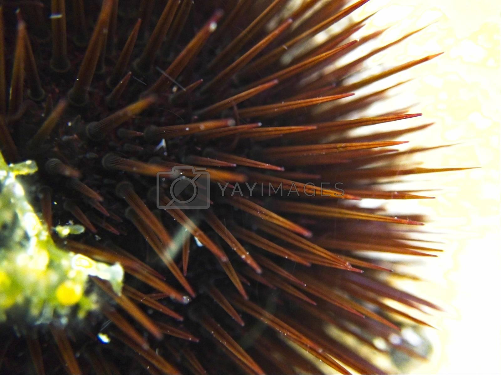 Macro view of a Mediterranean sea urchin