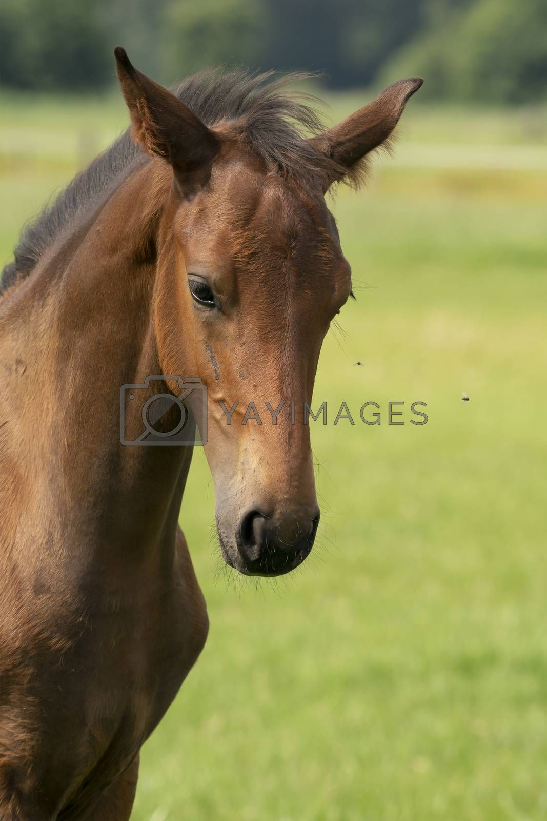 Attentive brown foal with head and mane in close-up.