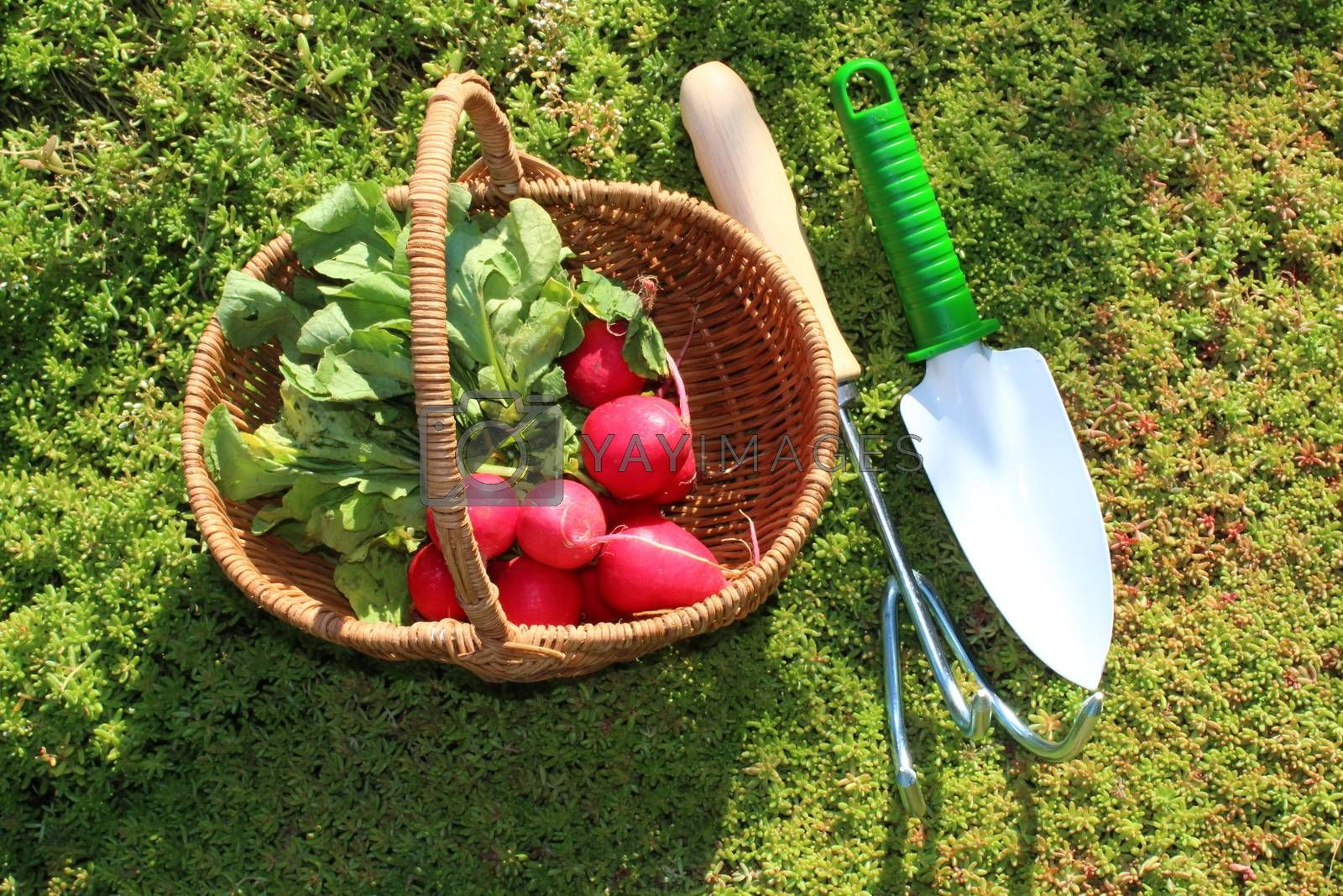 Royalty free image of radish in a basket in the garden by martina_unbehauen