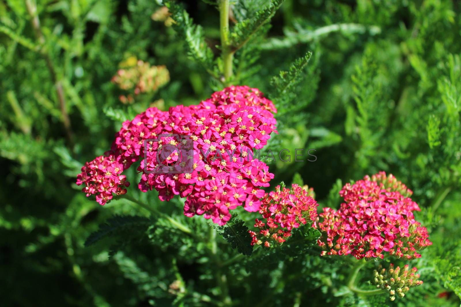 Royalty free image of pink blossoming yarrow in the garden by martina_unbehauen