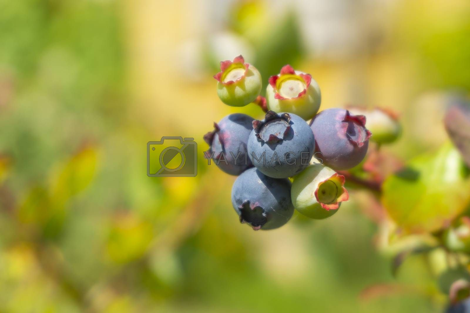 Ripening blueberry in a cluster on a bush outdoors in summer sunshine in close up with copyspace