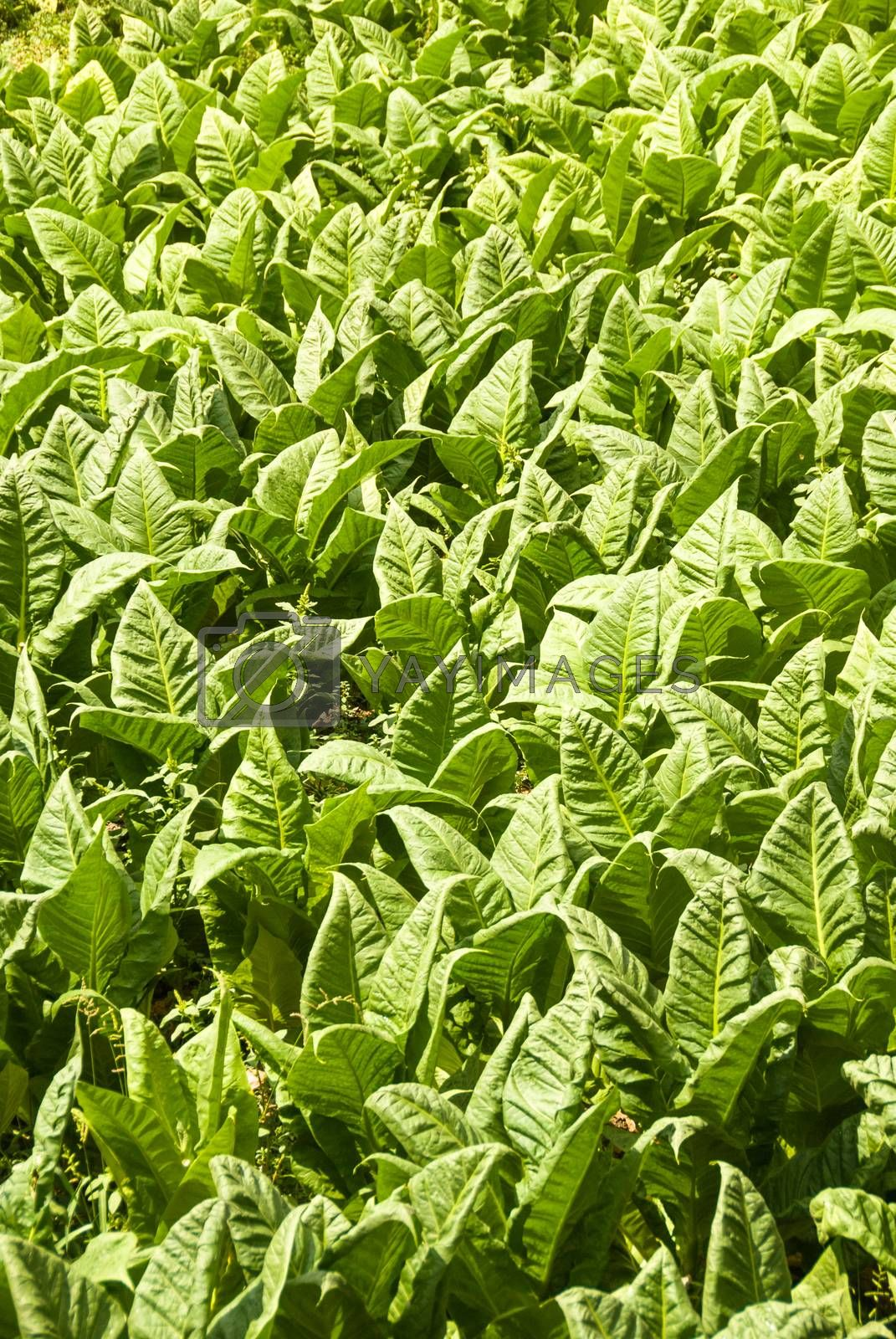 vertical view of field planted with tobacco leaves