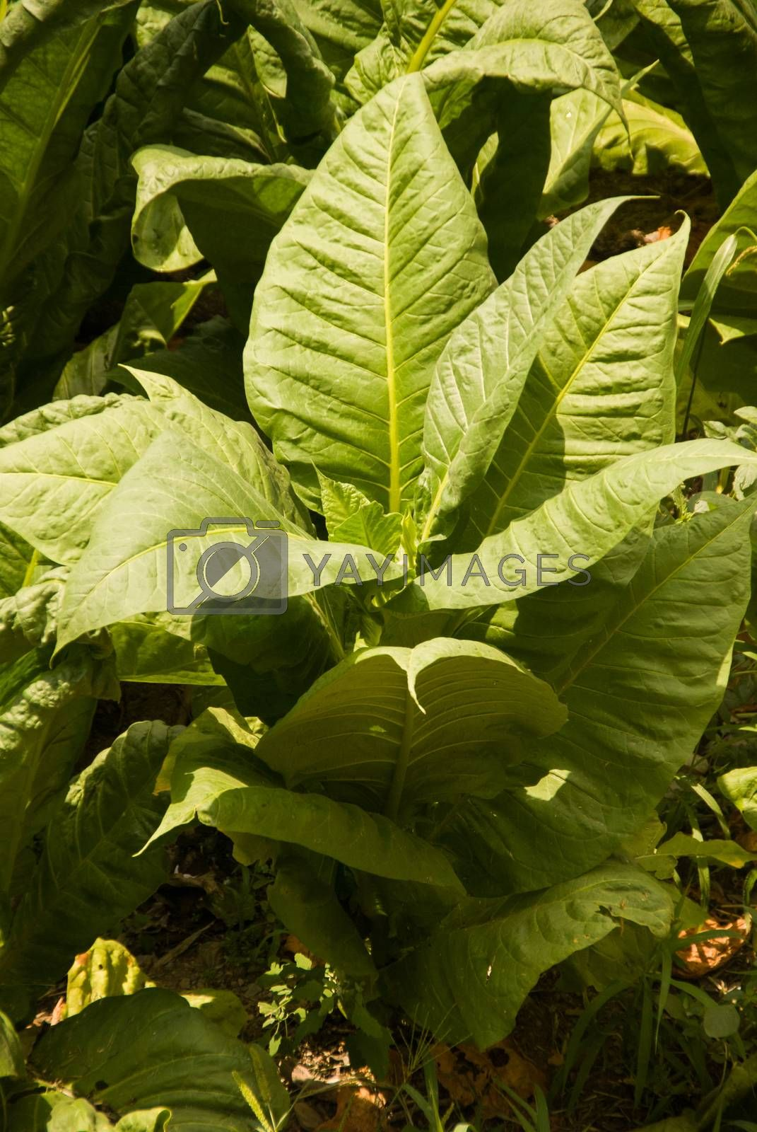 vertical view of single tobacco plant