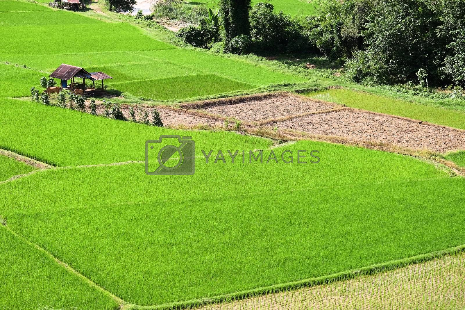 Landscape view of green Rice field in Pua district, Nan province, Thailand