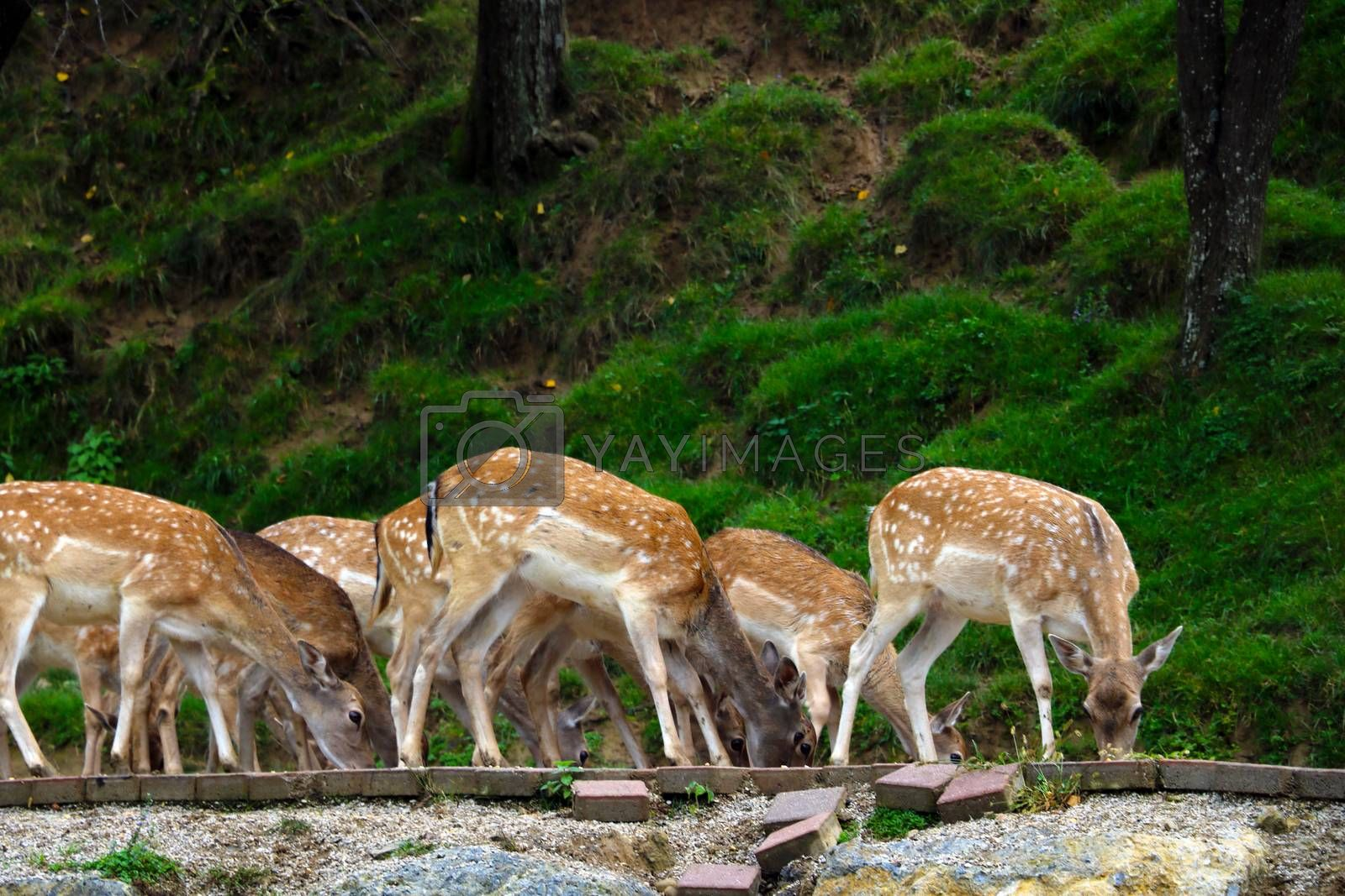A herd of sika deer while eating