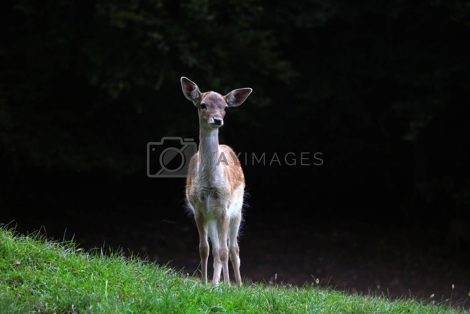 A funny little sika deer came out of the forest into a green meadow