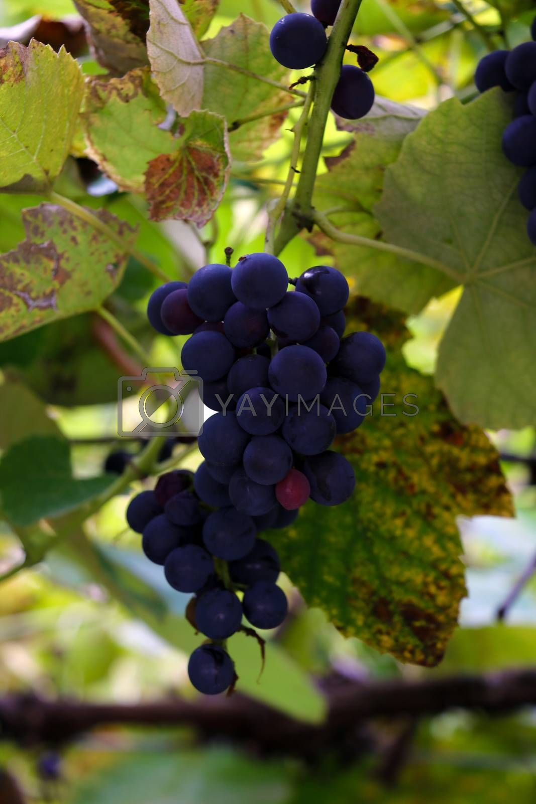 Branch of blue grapes with green leaves close-up