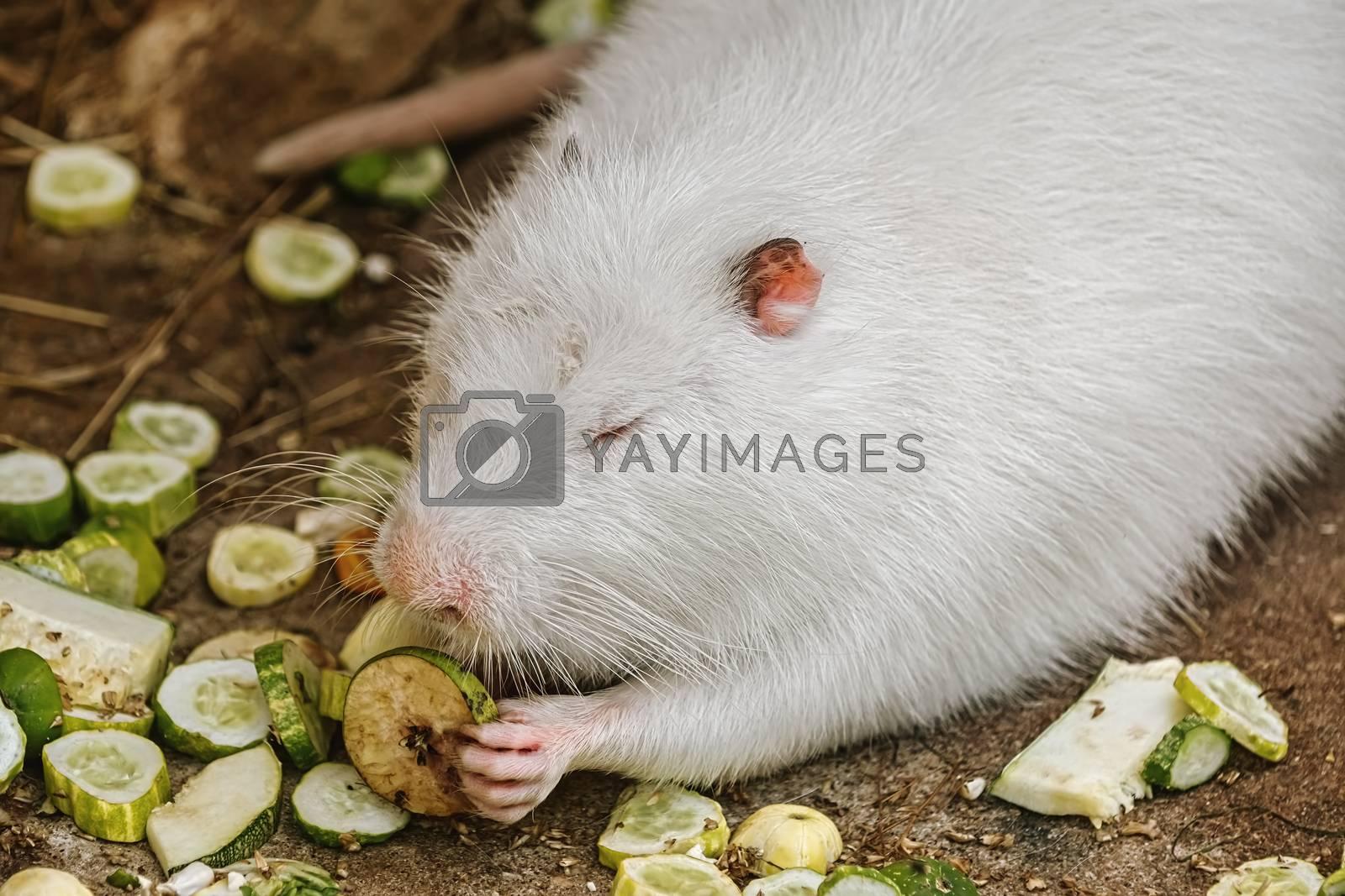 White coypu (Myocastor coypus) eating vegetables