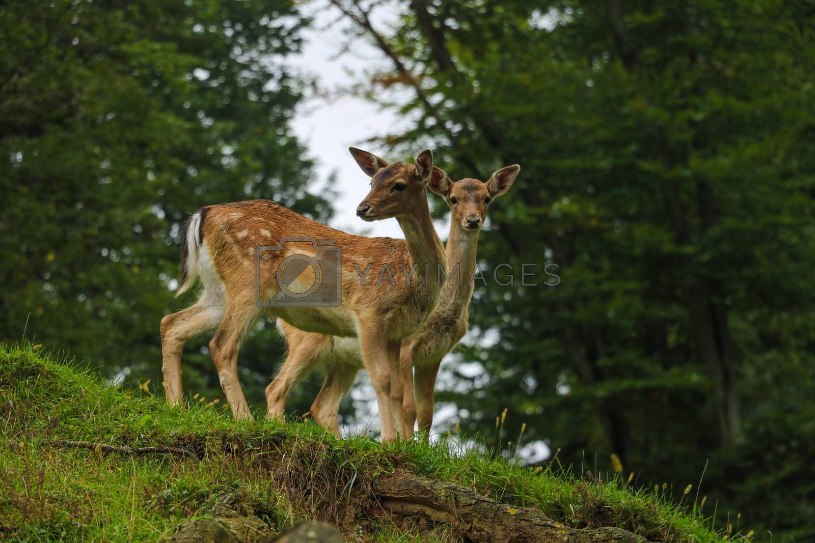 Two young sika deer came out of the forest