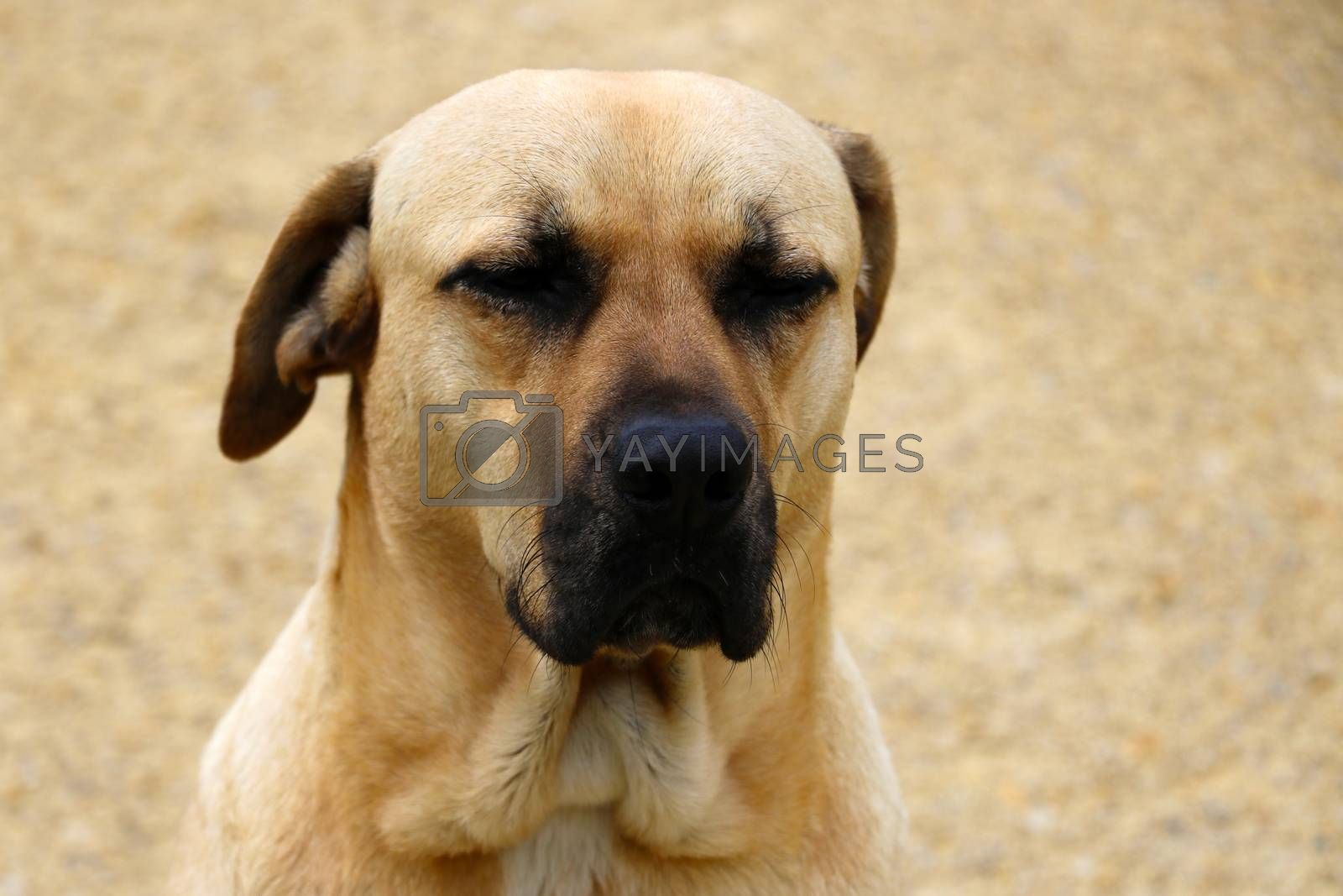A large large light-colored dog sits with closed eyes