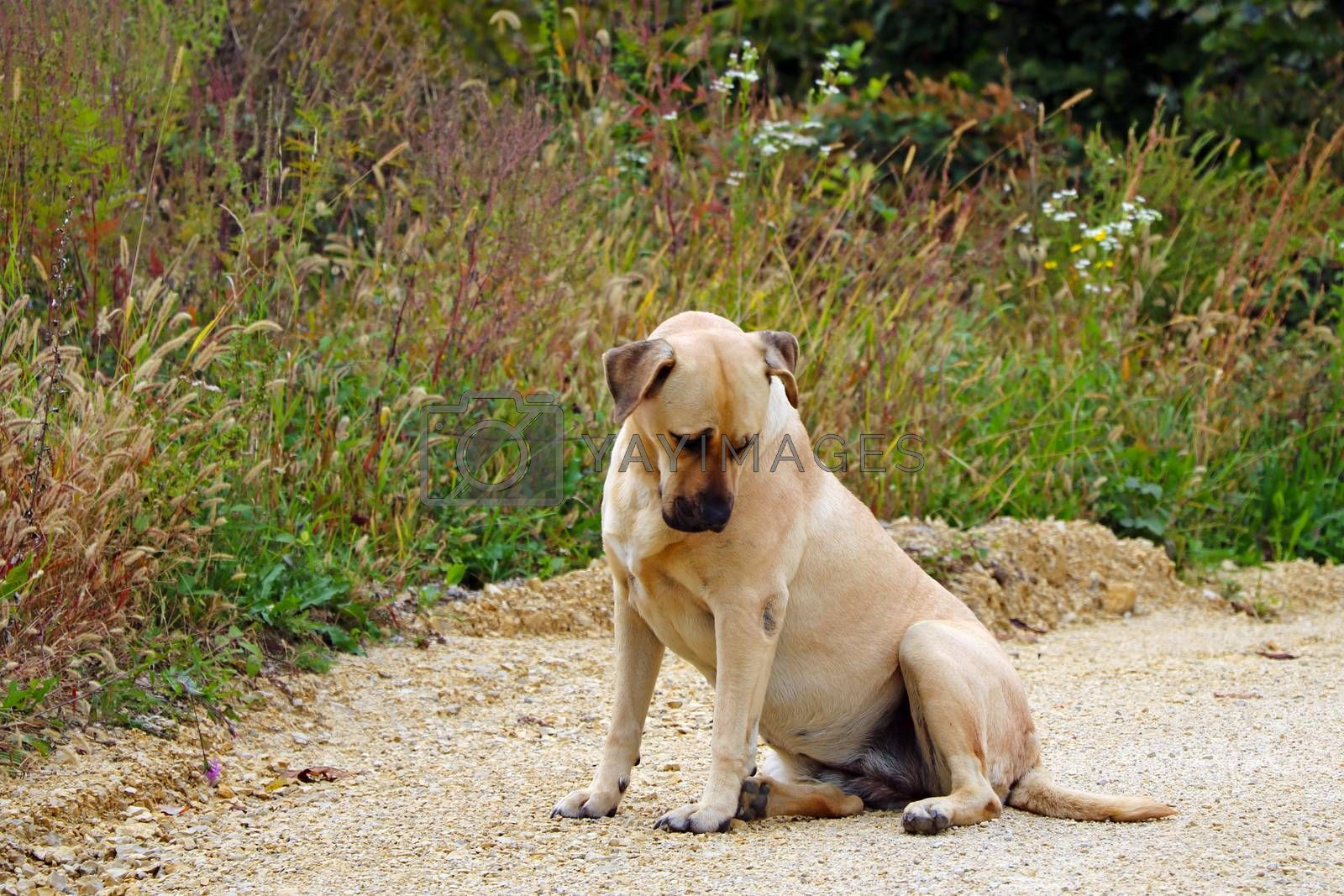A large light-colored dog sits on the ground with his head down