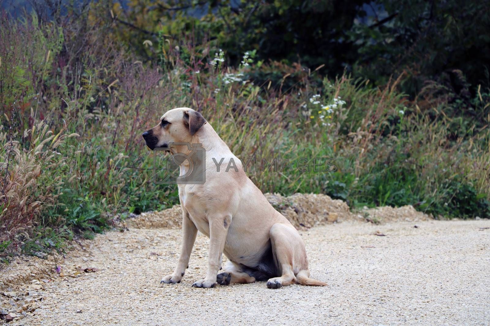 An adult dog labrador retriever is sitting on the road