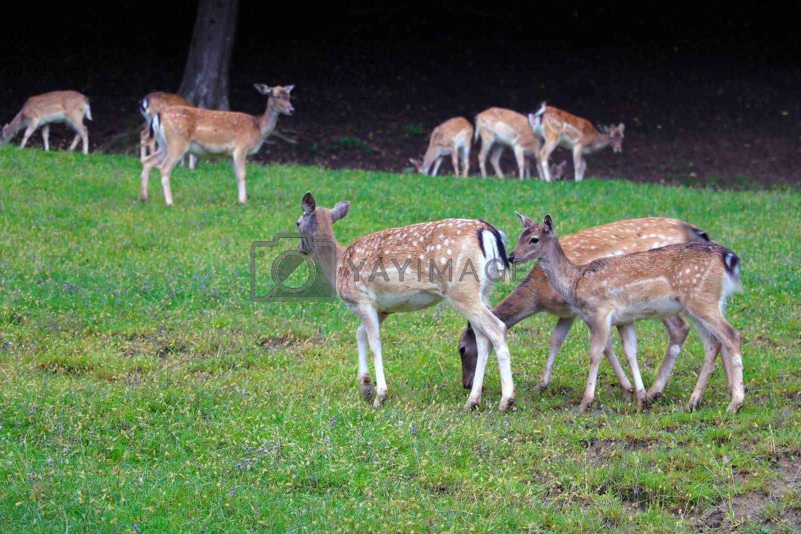 Young sika deer in the meadow. Wild nature
