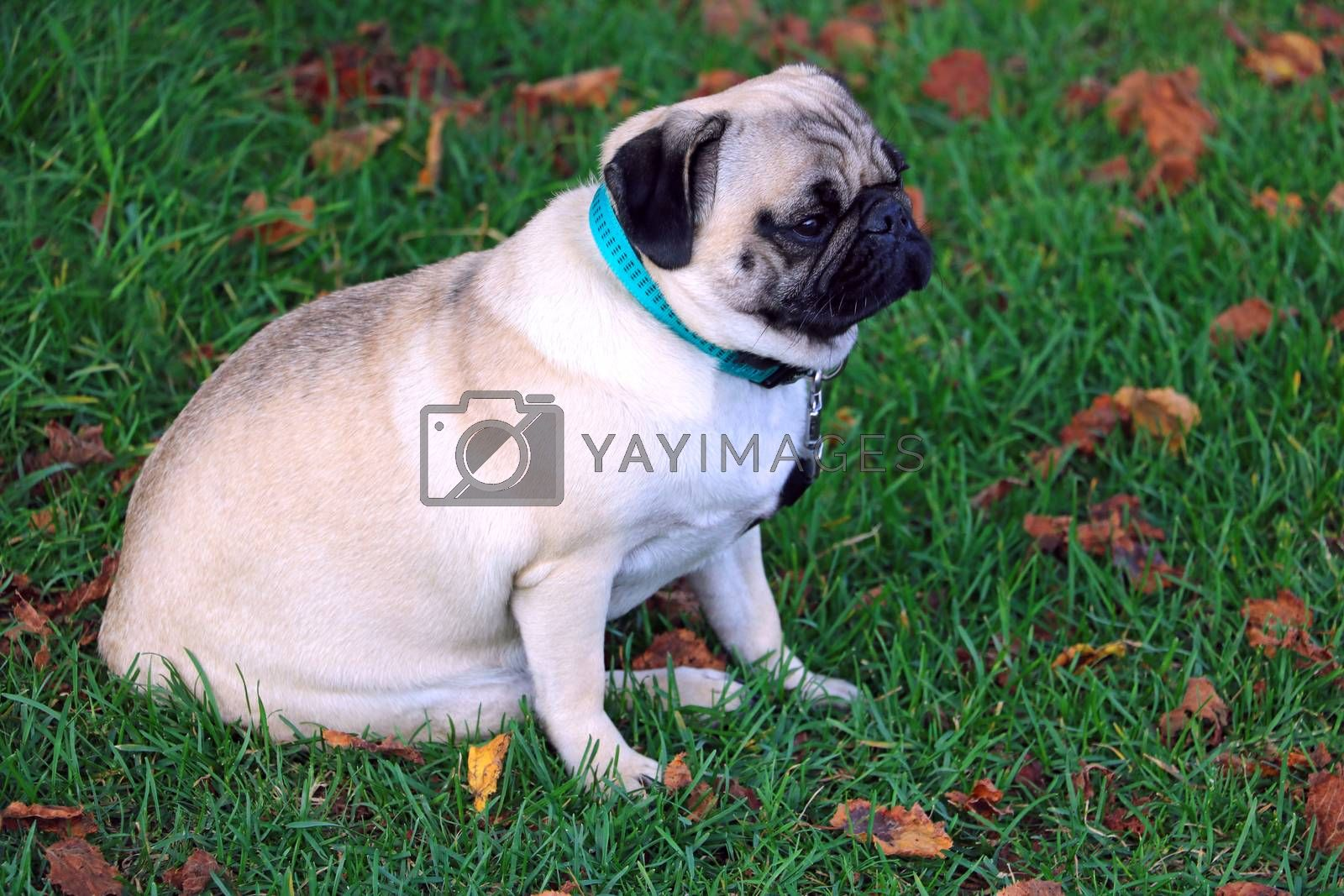 Pug sits on green grass close-up, nature