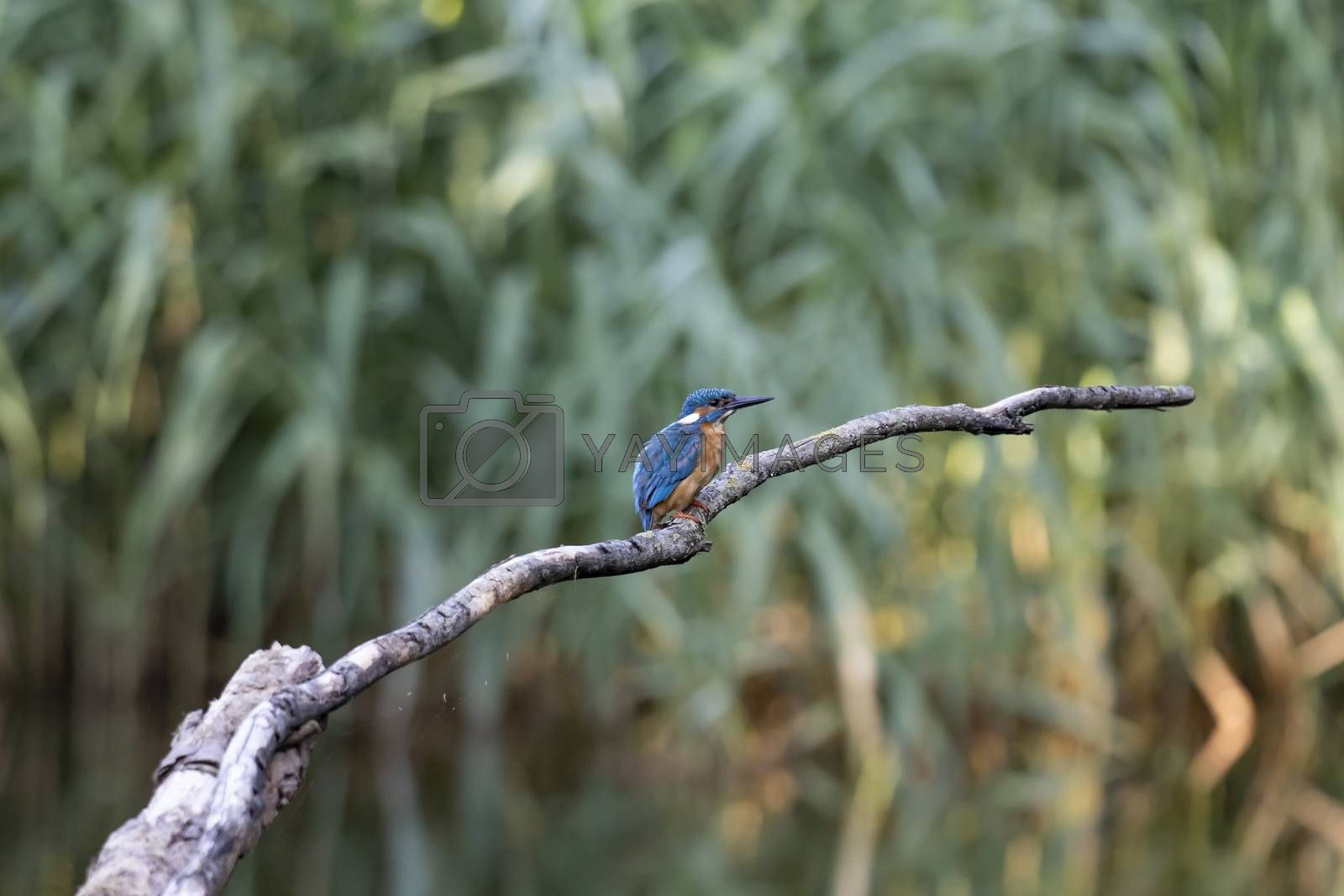 Common kingfisher, Alcedo atthis. The bird sitting on a branch above the water while waiting for fish. With copy-space.