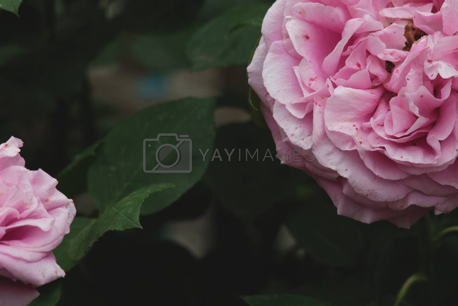 Two peony rose on the background of deep dark green leaves