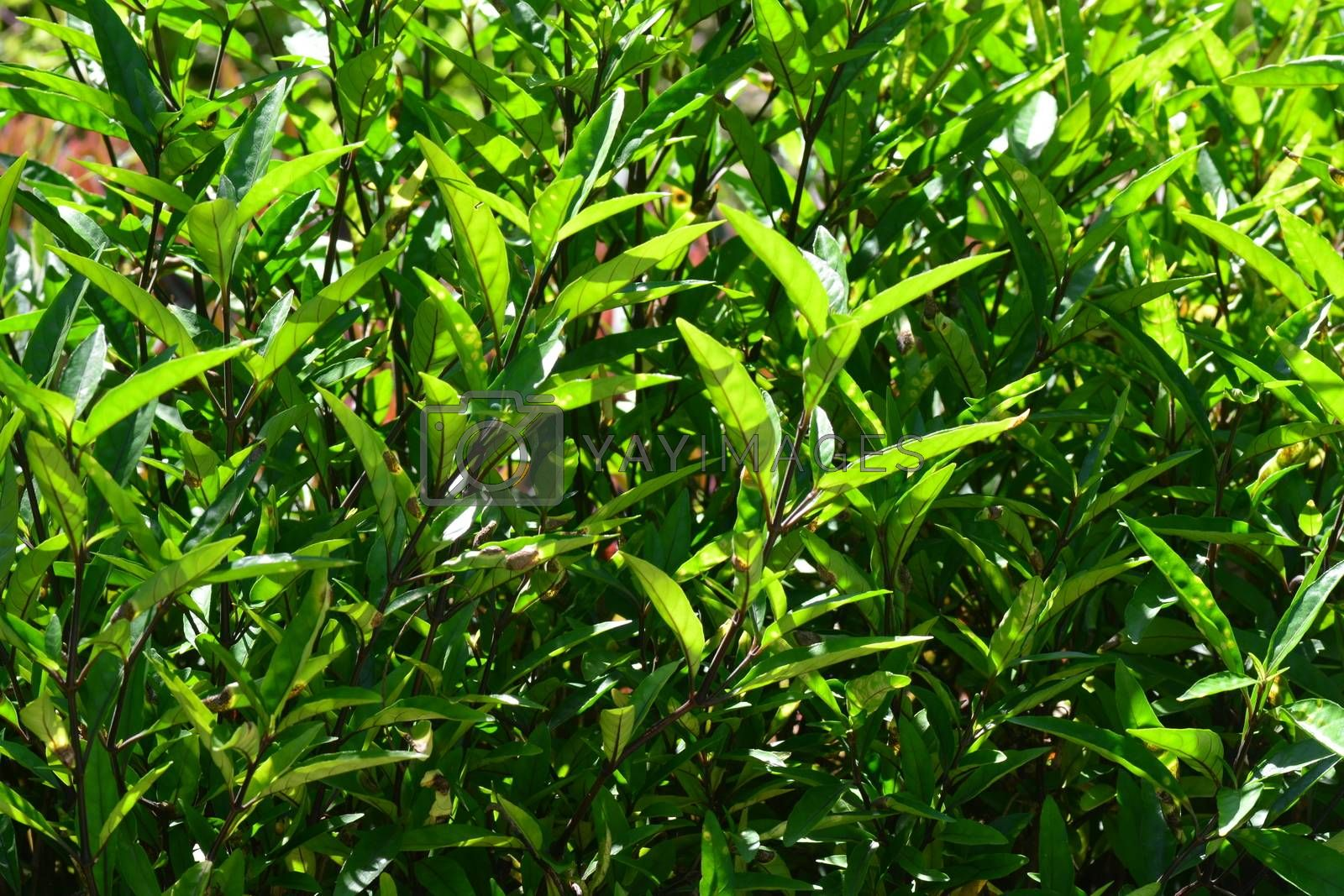 Justicia gendarussa, commonly known as willow-leaved justicia The plant has shown promise as a source of a compound that inhibits an enzyme crucial to the development of HIV