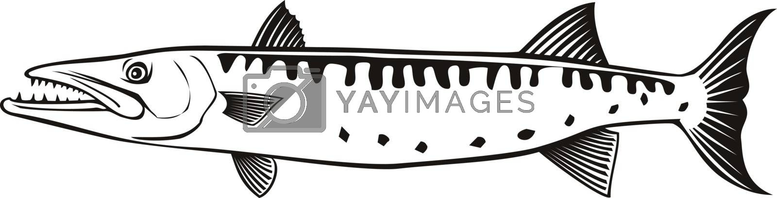 Retro style illustration of a barracuda or Sphyraena barracuda, a large predatory saltwater ray-finned fish of the genus Sphyraenapredatory, swimming side view on isolated background done in black and white.
