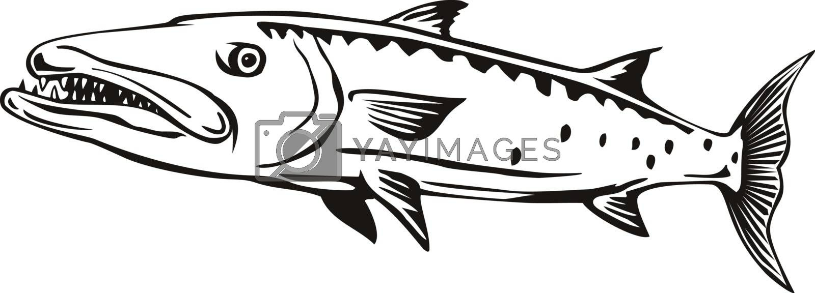 Retro style illustration of a barracuda or Sphyraena barracuda, a large, predatory saltwater ray-finned fish of the genus Sphyraenapredatory, swimming viewed from side on isolated background done in black and white.