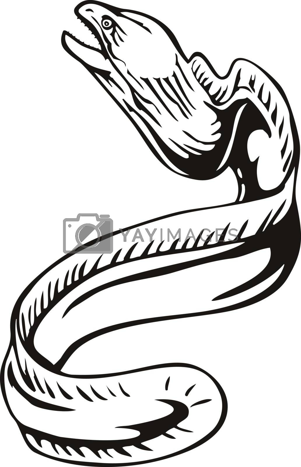 Retro woodcut style illustration of a greyface grey moray eel, Gymnothorax nubilus, freckled moray, slender moray or white-eyed moray, swimming up on isolated background done in black and white.